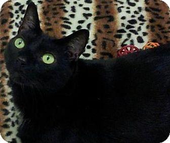 Domestic Shorthair Cat for adoption in Tampa, Florida - Kit-Kat