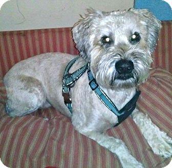 Wheaten Terrier Dog for adoption in ST LOUIS, Missouri - Marley