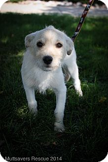 Cairn Terrier/Wirehaired Fox Terrier Mix Puppy for adoption in Broomfield, Colorado - Link