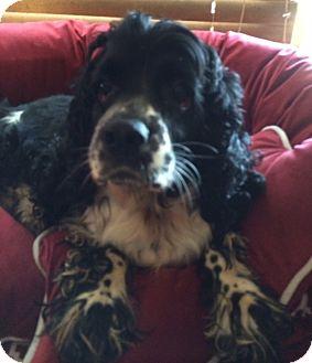 Cocker Spaniel Mix Dog for adoption in East Hartford, Connecticut - Princess adoption pending