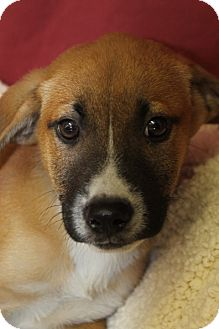 Shepherd (Unknown Type)/Labrador Retriever Mix Puppy for adoption in Waldorf, Maryland - Archie