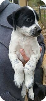 Border Collie Mix Puppy for adoption in Fort Lauderdale, Florida - laverne