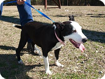 Pit Bull Terrier/Terrier (Unknown Type, Medium) Mix Puppy for adoption in Oakdale, Louisiana - Kay