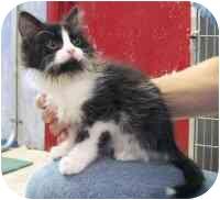 Persian Kitten for adoption in Republic, Washington - Penguin