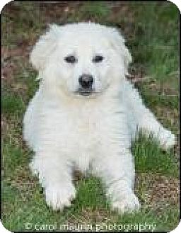 Great Pyrenees/Husky Mix Puppy for adoption in Winston-Salem, North Carolina - Cyan