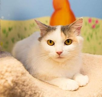 Domestic Mediumhair Cat for adoption in Marlboro, New Jersey - Katy Purry