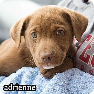 Labrador Retriever Mix Puppy for adoption in Plano, Texas - Adrienne