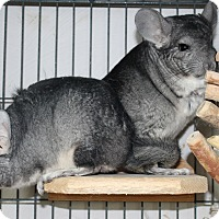 Adopt A Pet :: Maisie & Jessie - Virginia Beach, VA