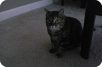 Domestic Shorthair Cat for adoption in Acushnet, Massachusetts - Tully