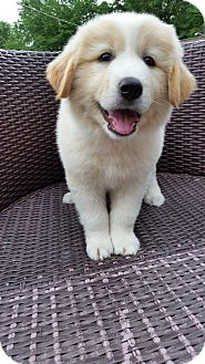 Great Pyrenees Mix Puppy for adoption in New Oxford, Pennsylvania - Cotton