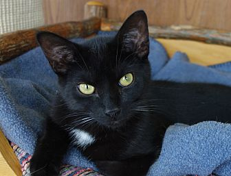 Domestic Shorthair Cat for adoption in Greenfield, Indiana - Gerard