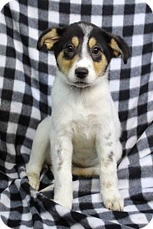 Shepherd (Unknown Type) Mix Puppy for adoption in Westminster, Colorado - AMARYLLIS