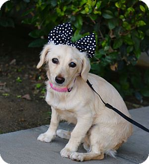 Dachshund Mix Puppy for adoption in South El Monte, California - Ellie