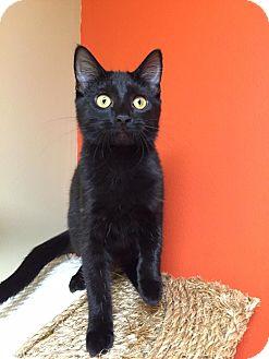 Domestic Shorthair Kitten for adoption in Maryville, Missouri - Loyola