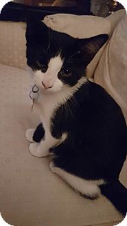 Domestic Shorthair Kitten for adoption in Woodstock, Ontario - Danny