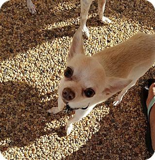 Chihuahua Mix Dog for adoption in Goodyear, Arizona - Sammie