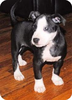 American Staffordshire Terrier Puppy for adoption in Marlton, New Jersey - Akoya