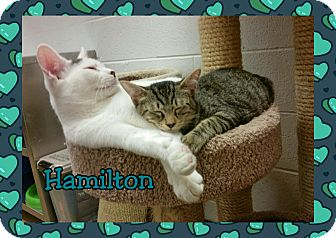 Domestic Shorthair Cat for adoption in Atco, New Jersey - Hamilton