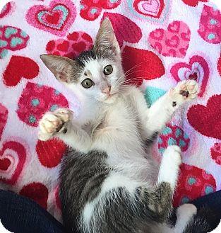 Domestic Shorthair Kitten for adoption in Tampa, Florida - Moana