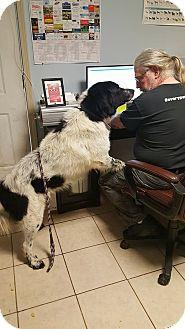 St. Bernard Mix Dog for adoption in Hammond, Louisiana - Fuzzy