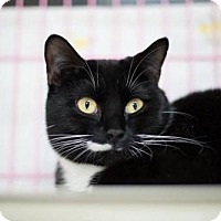Domestic Shorthair Cat for adoption in Orleans, Vermont - Tuna