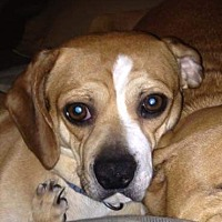 Adopt A Pet :: Duke - East Randolph, VT