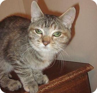 Domestic Shorthair Cat for adoption in Springfield, Oregon - Heather