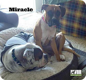 Boxer Mix Dog for adoption in Woodinville, Washington - Miracle