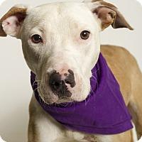Adopt A Pet :: Himalaya - Baton Rouge, LA
