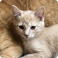 Adopt A Pet :: Sir Isaac Mewton - Knoxville, TN