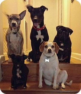 Italian Greyhound/Terrier (Unknown Type, Medium) Mix Dog for adoption in Allentown, Pennsylvania - Costa