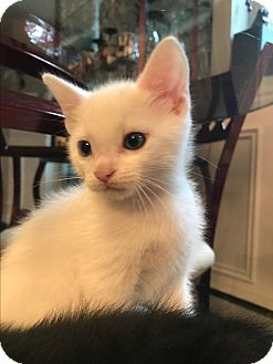 Domestic Shorthair Kitten for adoption in Montreal, Quebec - Coconut