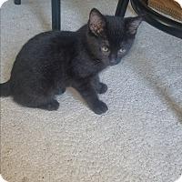 Domestic Shorthair Kitten for adoption in Tumwater, Washington - Carmen