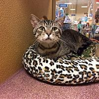 Domestic Shorthair Cat for adoption in Warrenton, Missouri - Ham