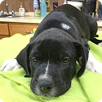 Labrador Retriever/American Bulldog Mix Puppy for adoption in Saratoga Springs, New York - Spot ❤ ADOPTED!