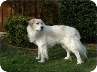 Great Pyrenees Dog for adoption in Kyle, Texas - Mister Wonderful