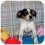 Photo 2 - Australian Cattle Dog/Australian Cattle Dog Mix Puppy for adoption in Broomfield, Colorado - Bruce Willis