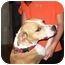 Photo 1 - Beagle/Pit Bull Terrier Mix Dog for adoption in Osseo, Minnesota - Sadie