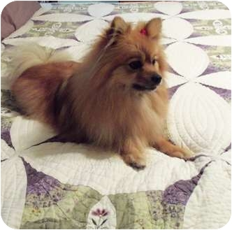 Pomeranian Dog for adoption in Kokomo, Indiana - Ginger
