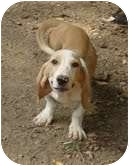 Basset Hound/Beagle Mix Dog for adoption in Portland, Maine - Earl