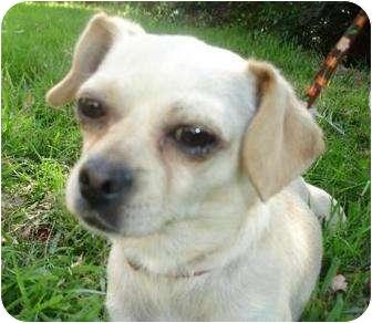 Pug/Chihuahua Mix Dog for adoption in petaluma, California - Pearl