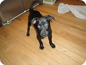 Labrador Retriever/Pointer Mix Puppy for adoption in East Rockaway, New York - Gator