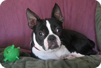 Boston Terrier Dog for adoption in Warwick, New York - Jinx