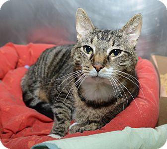 Domestic Shorthair Cat for adoption in New York, New York - Calliope