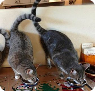Domestic Shorthair Cat for adoption in San Leandro, California - Buster