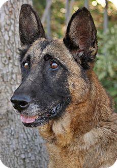 German Shepherd Dog Mix Dog for adoption in Los Angeles, California - Rambo von Regen