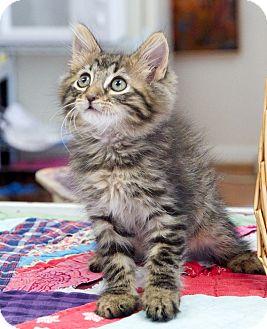 Domestic Mediumhair Kitten for adoption in Homewood, Alabama - Grimm