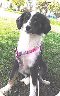 Australian Shepherd Mix Puppy for adoption in Irvine, California - TRIXIE