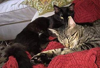 Domestic Mediumhair Cat for adoption in Atlanta, Georgia - Chester & Switter