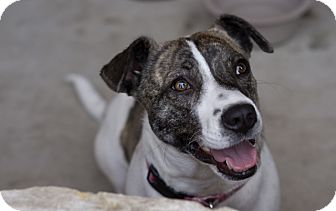 Jack Russell Terrier Mix Dog for adoption in Austin, Texas - Sweet Caroline